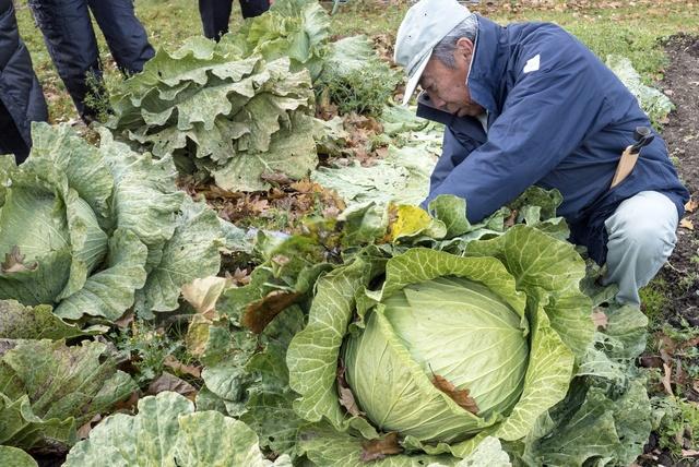 その重さ10キロ以上!幻の巨大キャベツ「札幌大球」の謎に迫る