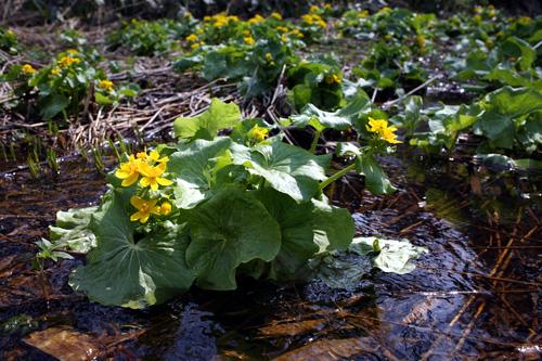 やちぶき(エゾノリュウキンカ)、春を告げる花
