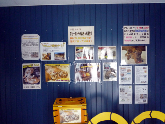 釧路動物園の人気者!アムールトラの兄妹「タイガ」と「ココア」