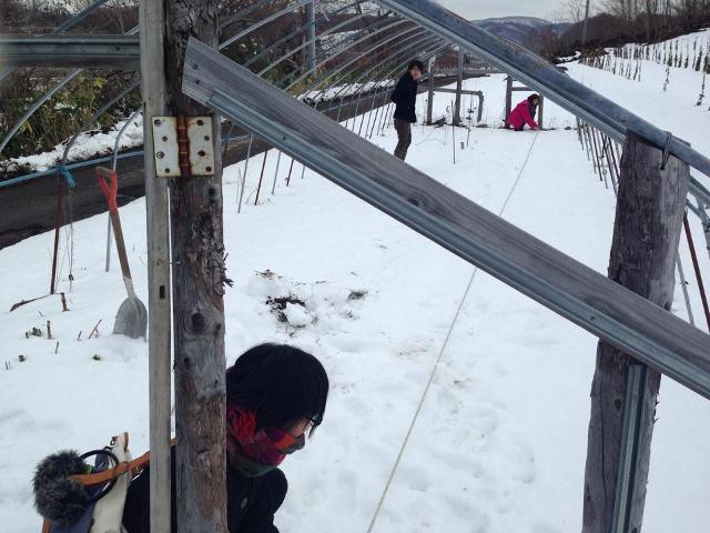 北海道で綿を栽培し10年―広がりをみせる『北限の綿への挑戦』