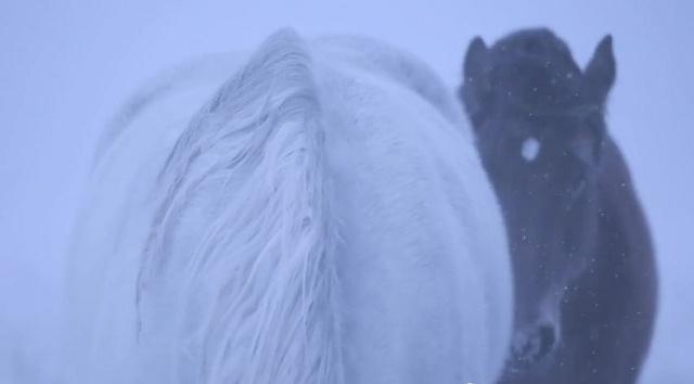 無人島「ユルリ島」の野生馬が2年半で半減?! 雌馬だけ6頭に