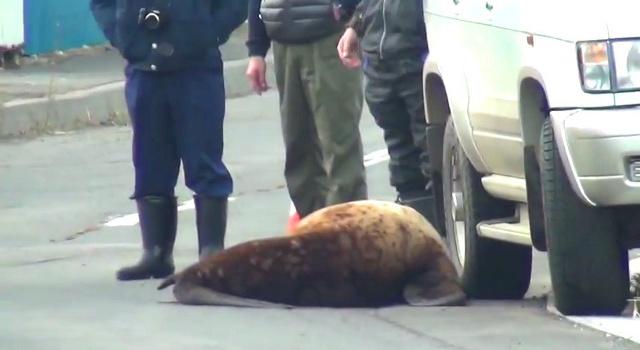 斜里町で珍事!市街地の路上でひなたぼっこするトド現る!