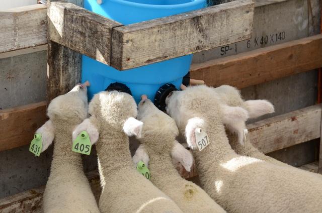 子ひつじ30頭の飼育員になれる!恵庭えこりん村で初めての体験企画