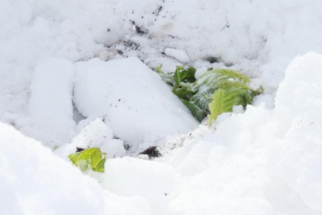 雪の下に眠るキャベツを探せ!札幌で「雪ノ下キャベツ」掘り起し体験