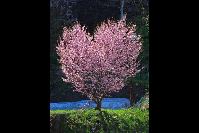 150周年迎えた定山渓温泉にハート形の桜の木が!? 観光協会もビックリ