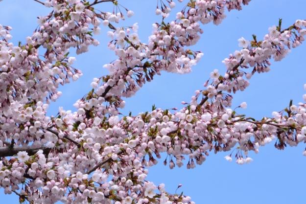 思わず感嘆の声が出てしまう桜のトンネル「桜が丘通り」