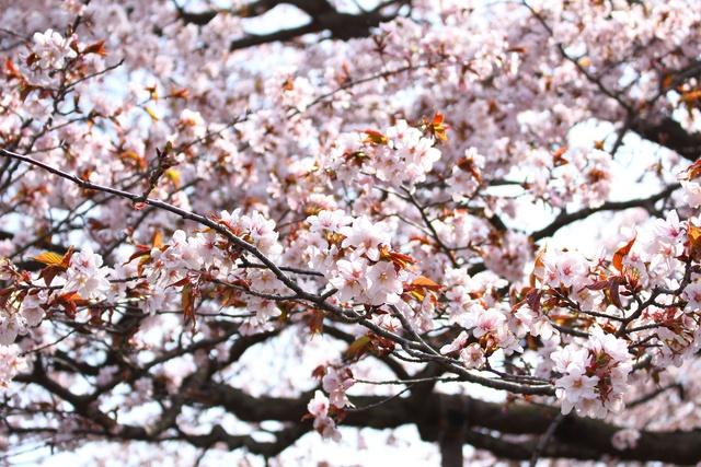 室蘭の桜の名木2選!草原に咲き誇る崎守の1本桜 & 幌萌の大山桜