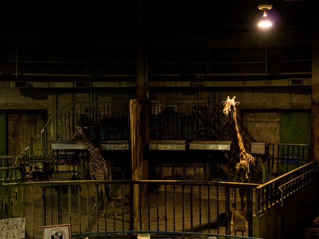 円山動物園は夜も楽しい!おとなも子供も楽しめる「夜の動物園」