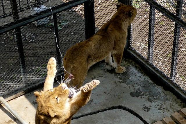 ライオン釣りや日本一危険なゾーンも!驚きのノースサファリサッポロ