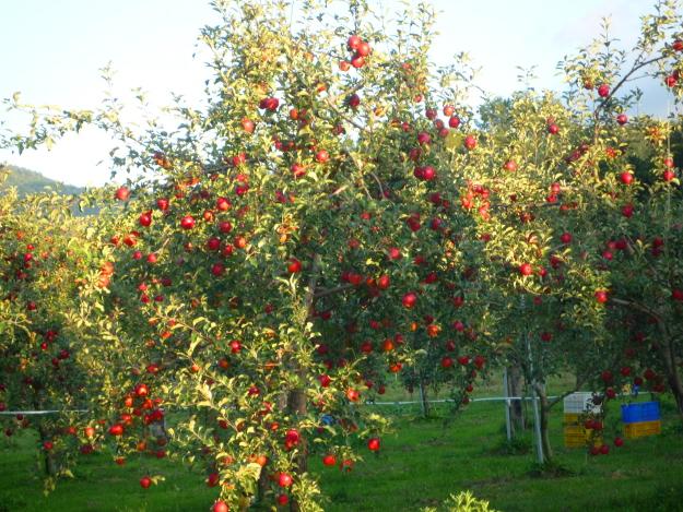 直売所のリンゴ1袋200円がお得すぎる! 岩見沢の果樹園地帯で最盛期