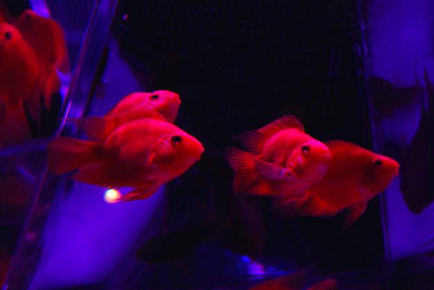 冬の金魚はいかが? 照明・映像で魅せる『アートアクアリウム展』が人気!