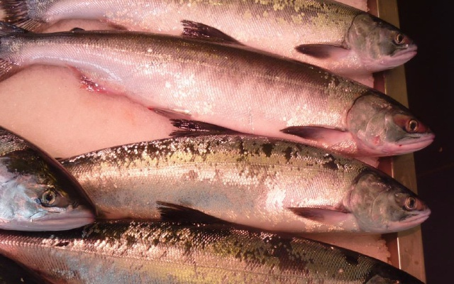 春の鮭「ときしらず」が手頃に食べられる! 赤れんが庁舎前でイベント