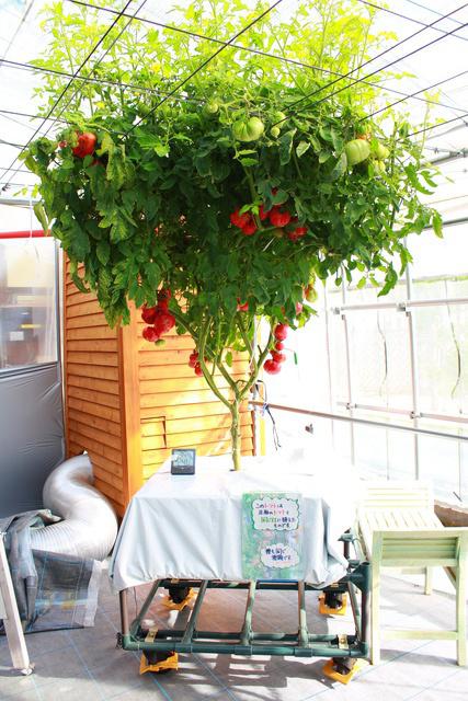ギネス級のトマトが頭上を覆う! えこりん村の世界一「とまとの森」