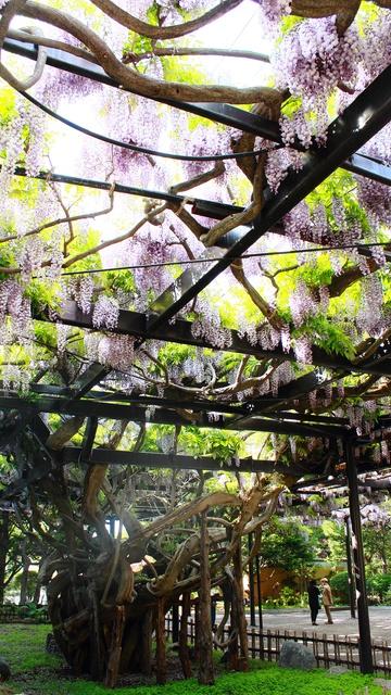 北海道で一番古い藤を知っているか? 樹齢200年「天神藤」が満開見頃