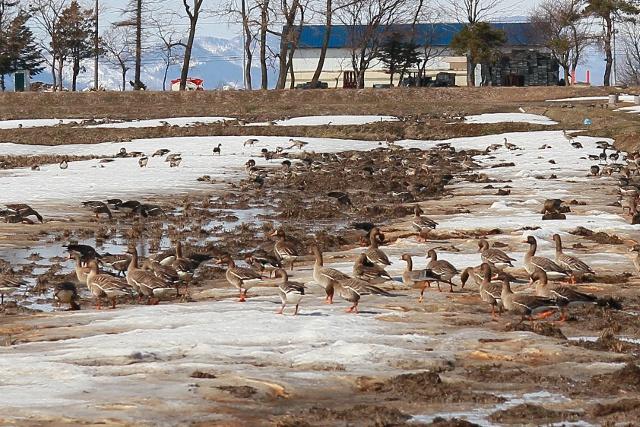 雪解け迎えた南空知の田畑にマガンとハクチョウが多数飛来中!