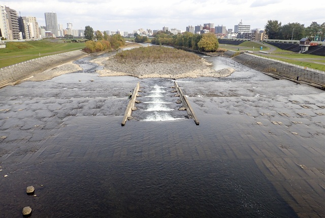 札幌に遡上する鮭を間近で見てみたい!豊平川サケ産卵床調査に密着!