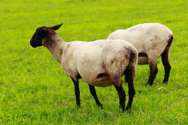 ジンギスカンとはひと味違う!羊肉の概念を変える「士別バーベキュー」