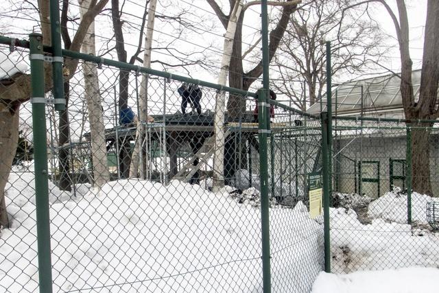 冬は猿団子に注目!円山動物園のサル山で65頭のニホンザルに会おう!