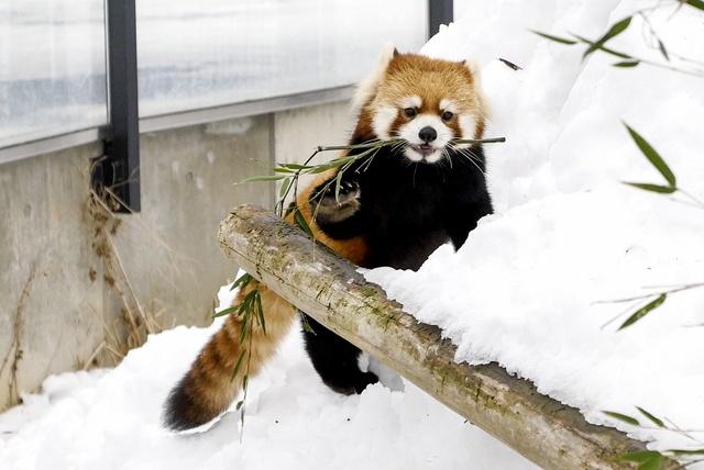 あの風太の息子にも会える!円山動物園の6頭のレッサーパンダたち