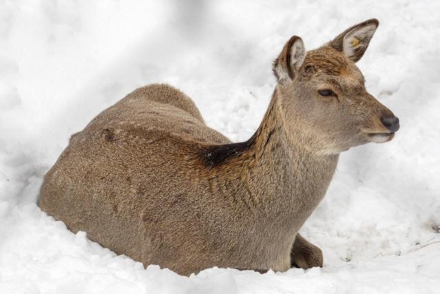 モグモグしているときの表情に癒される!円山動物園のエゾシカたち