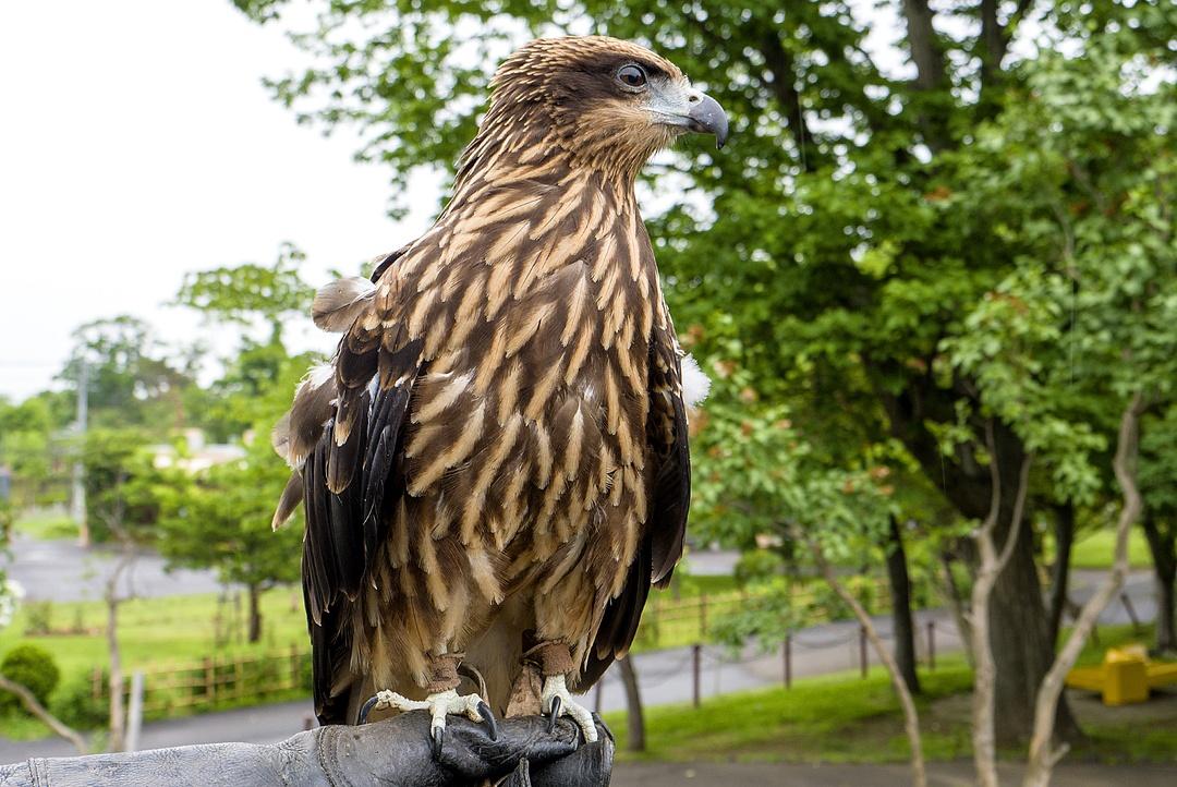 飛ぶ姿は迫力満点!円山動物園のトビやミミズク、フクロウたち
