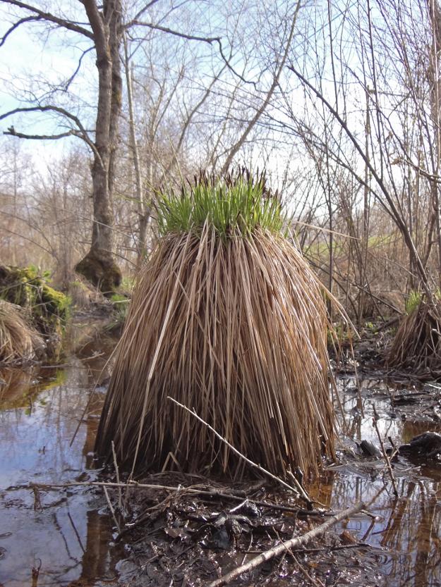 春がオススメ! 湿原のロングヘアモンスター「ヤチボウズ」ウォッチ