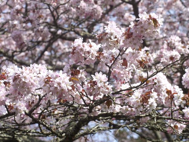 道東の地に葵の紋どころ!? 美しい桜の古刹「国泰寺(こくたいじ)」