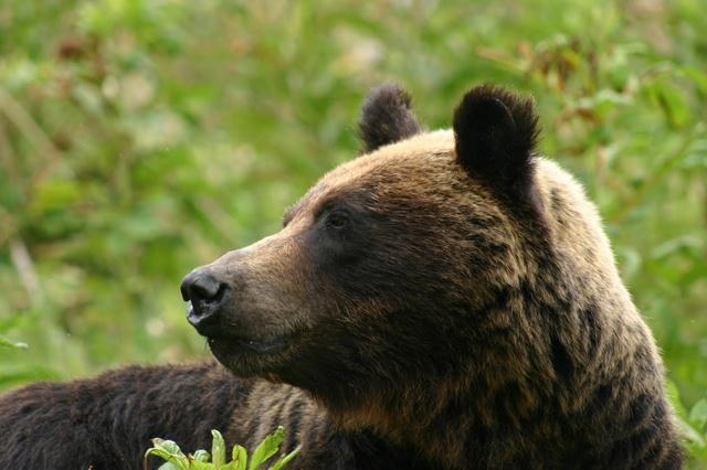 熊が人馴れするのはなぜ?知床財団・石名坂さんに聞く知床の熊事情
