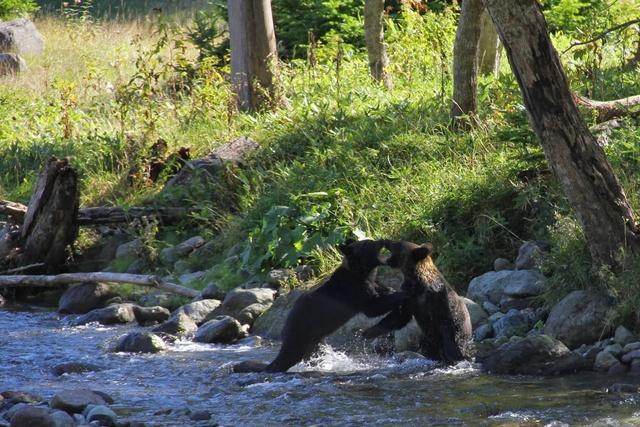 熊に会ったら『あさはゆき』?知床財団・石名坂さんに聞く知床の熊事情