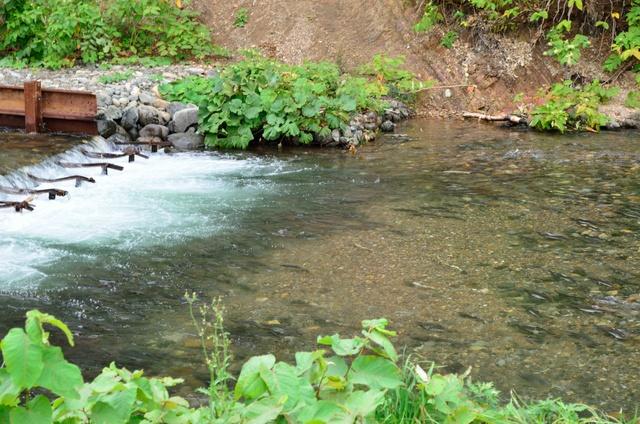 ものすごい数!知床でサケ・マス遡上を見るなら「遠音別川」へ!