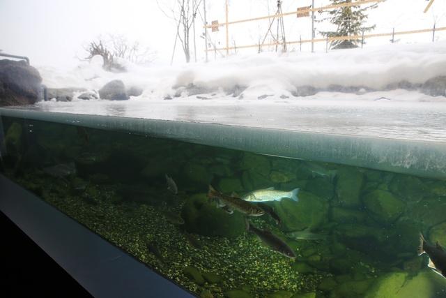 水槽の水面が凍る日を当てよう!おんねゆ温泉山の水族館で結氷クイズ