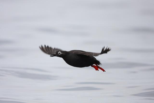 知床に行ったら見ておきたい! 珍しい海鳥ケイマフリってどんな鳥?