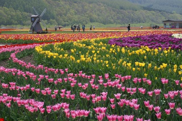 今年は「香りのゾーン」を新設!見頃迎えた湧別「チューリップ公園」