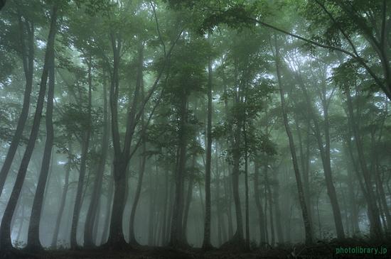 黒松内低地帯の北限のブナ林