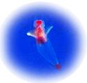 クリオネちゃん、流氷の天使