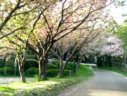 北海道で花見するにはいつがいい? 桜前線事情&お花見事情