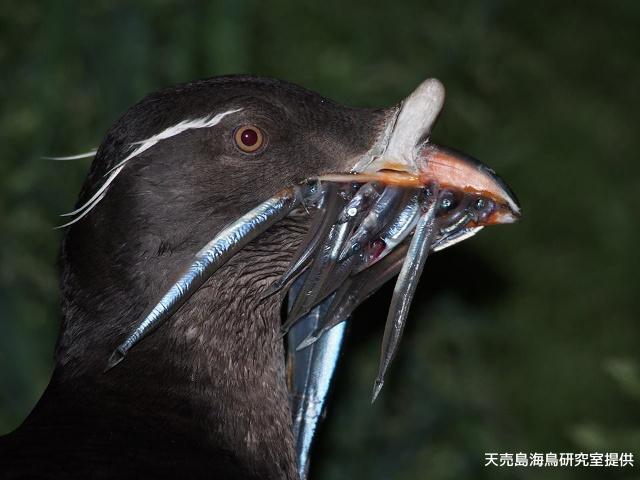 世界最大! 80万羽が飛んでくる迫力に感動! 天売島名物・ウトウの帰巣