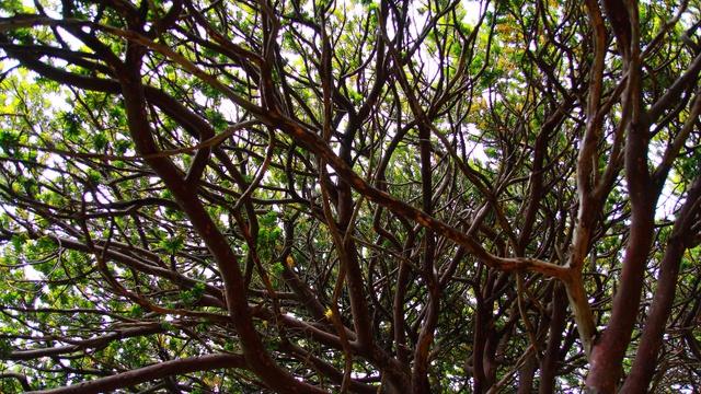 オンコの木の中に入れる?! 焼尻島「オンコの荘」ですごい木に出会った