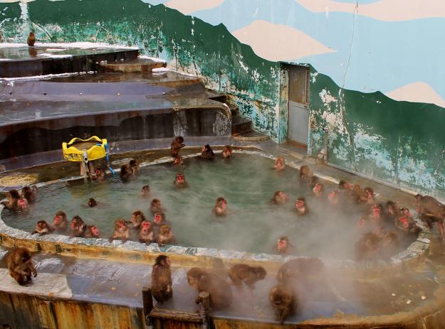 温泉につかるサルたちがかわいい! 函館 冬の名物「熱帯植物園のサル山」