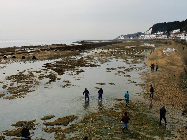 コンクリート礁488基にフノリがびっしり! 茂辺地漁港で手摘み体験!