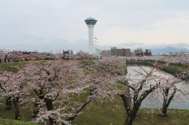 地元函館市民が指南―五稜郭公園の桜は様々な高さから眺めて楽しもう!