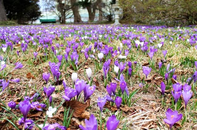 今年の春は少し早め?! 函館・遺愛学院でクロッカスの花が見ごろ