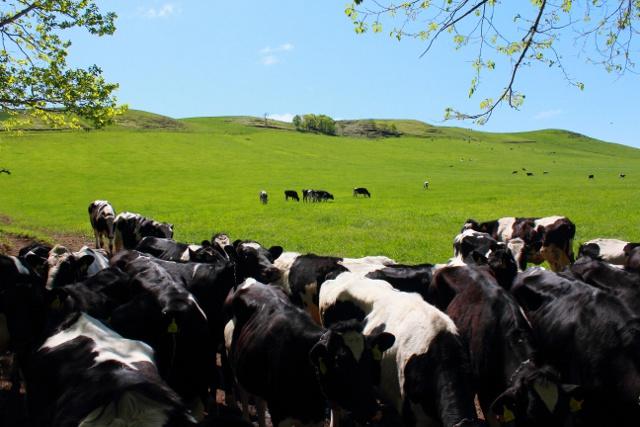 別海町だけじゃない!人より牛のほうが多い市町村は幾つあるの?