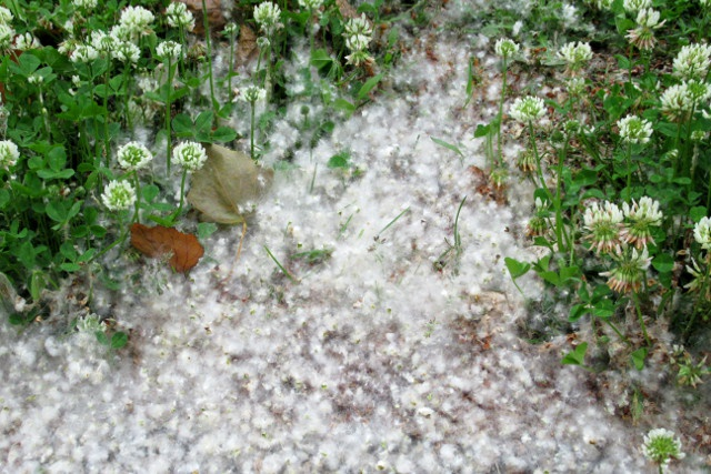 まるで雲のカーペット! 初夏の風物詩「ポプラの綿毛」スポット9選