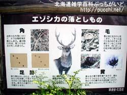 知床では野生の動物たちに会えます