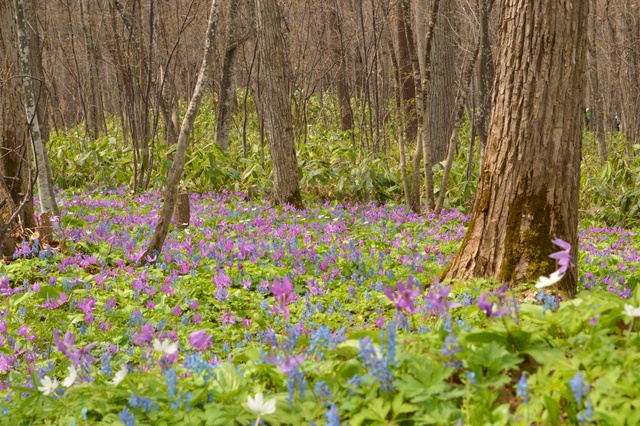 期間限定「男山」の花―道内最大級のカタクリ群落が見頃