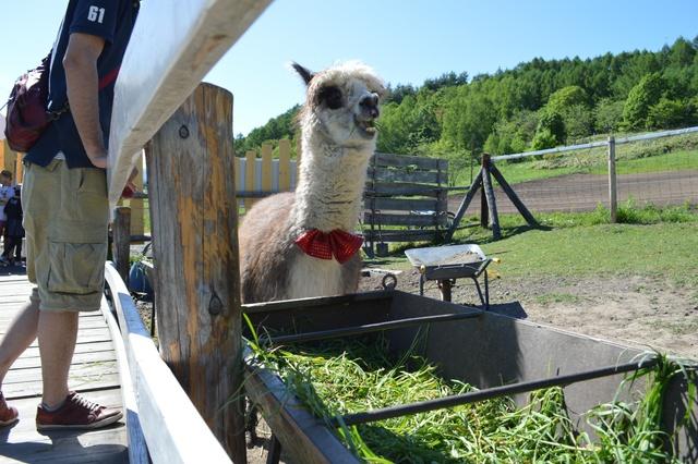 嬉し恥ずかし毛刈りの日―剣淵町ビバアルパカ牧場の一大イベント