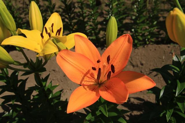 「ユリの花」が満開に! お盆時期に楽しむ真狩村の花ユリスポット3選