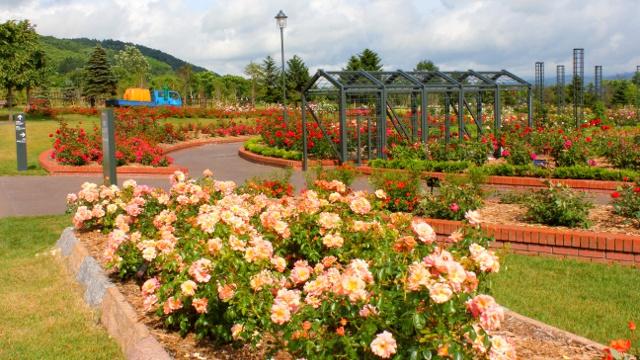 バラを見るならどこが好き? 岩見沢/秩父別/羽幌「北海道三大バラ園」