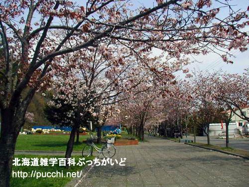 石狩空知の桜スポット